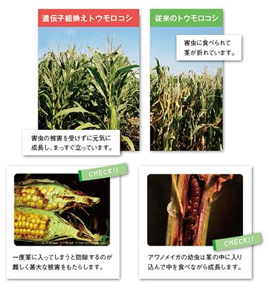 遺伝子組み換え技術を利用して、どんな作物が作られていますか。