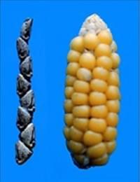 左側:テオシントの穂軸、右側:トウモロコシの穂軸