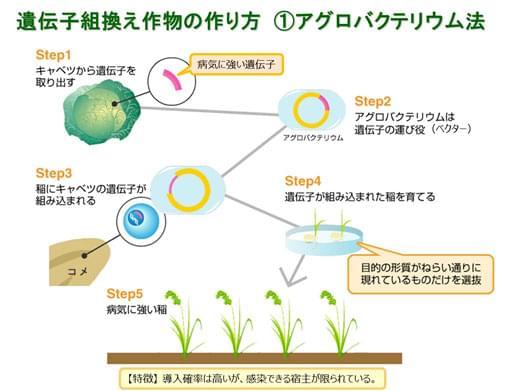 遺伝子組み換え作物の作り方 ?アグロバクテリウム法