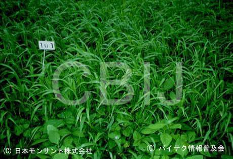 除草剤耐性ダイズ1