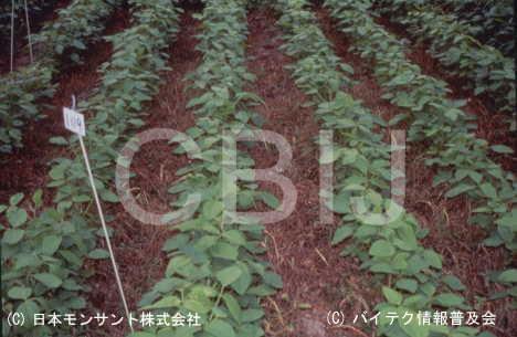 除草剤耐性ダイズ2